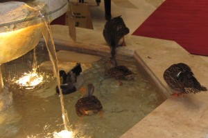 The ducks enter and exit their favorite fountain by literally walking the red carpet!