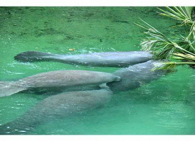 Manatees having lunch