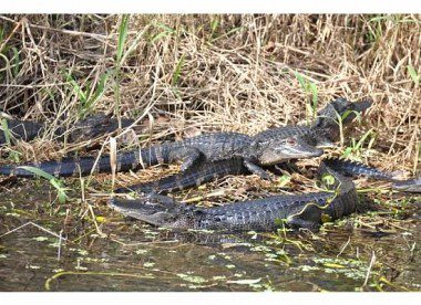 A nest of alligators