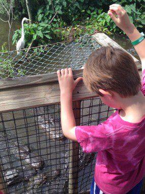 Feeding Alligators